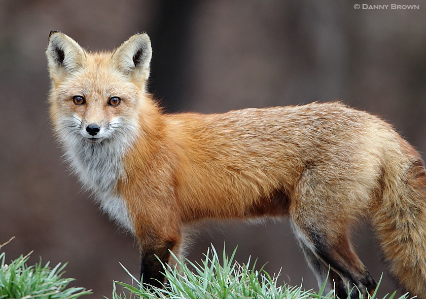 Red Fox (Whitefoot Clan)   Nature Frames