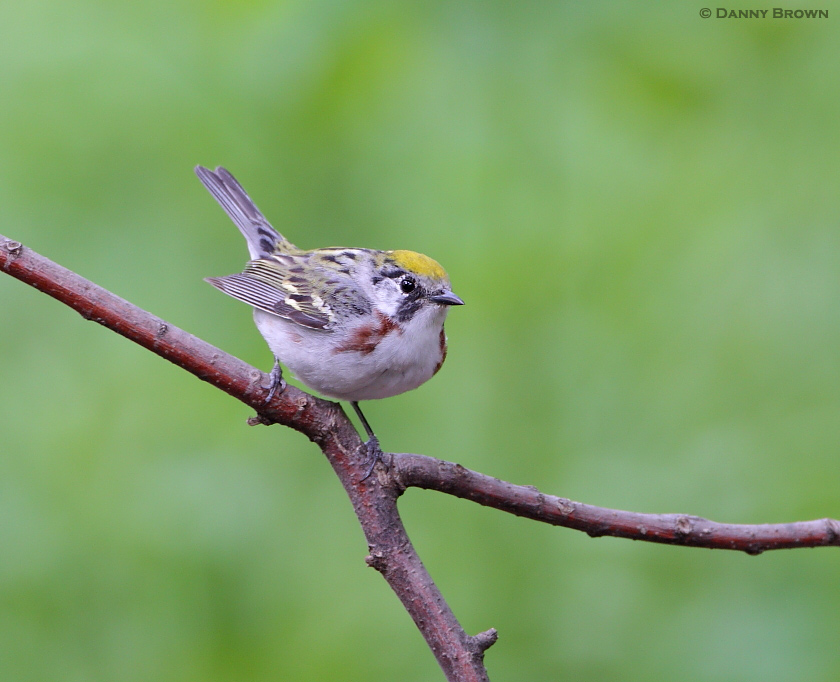 a selection of warblers from tower grove park nature frames