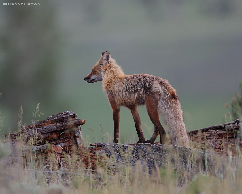 Colorado Report: Red Fox with Supper   Nature Frames